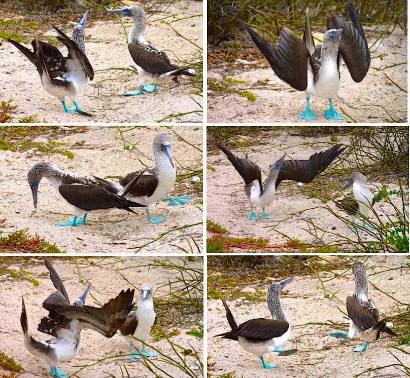Galapagos - North Seymour - Blaufußtöpel