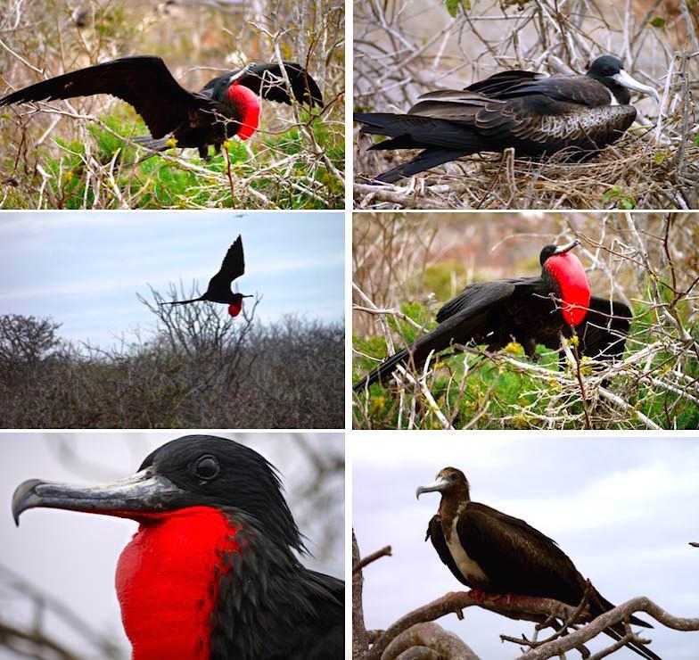 Galapagos - North Seymour - Prachtfregattvogel