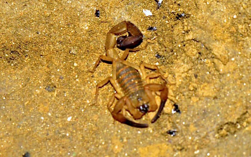 Skorpion Ciudad Perdida Kolumbien