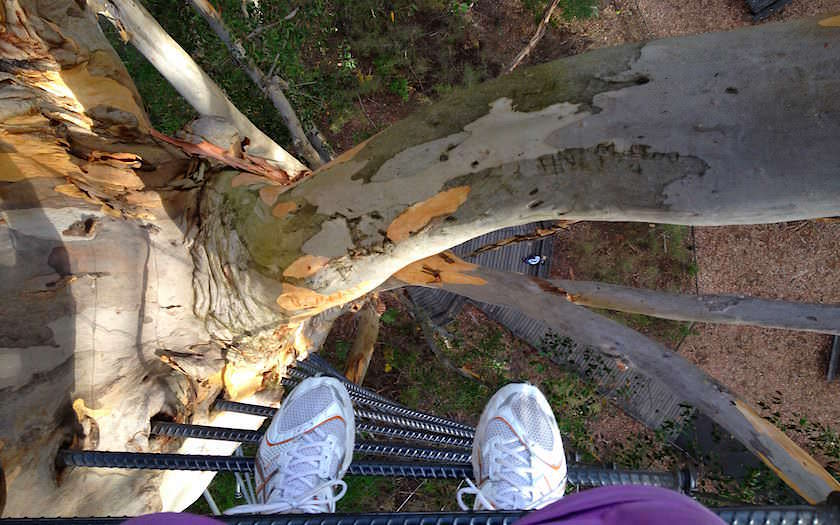Gloucester Tree Pemberton Climbing Tree im Kauri Forest in Western Australia