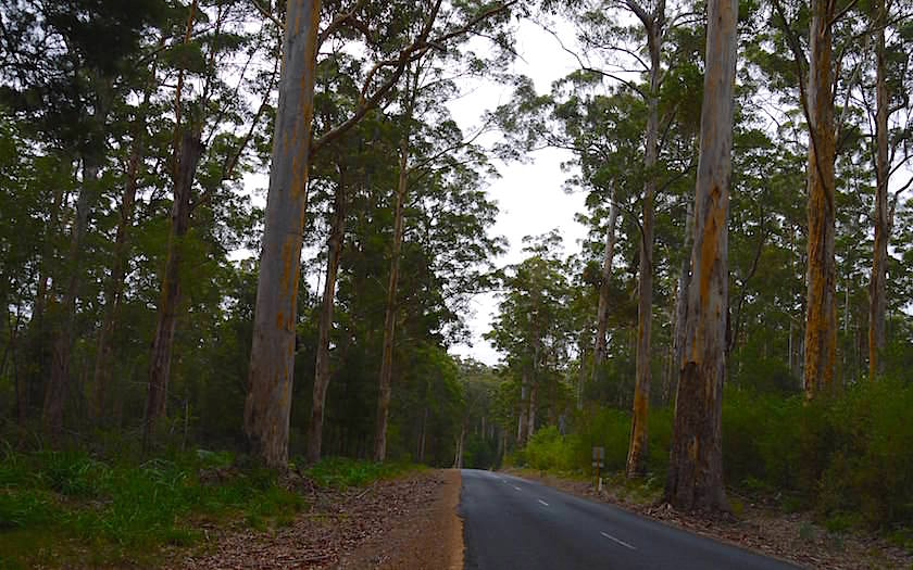 Karri Forest - Road to Pemberton Climbing Trees in Western Australia