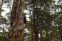 Pemberton Climbing Trees: Feuerwehrbäume, Adrenalin & gigantische Karri-Wälder