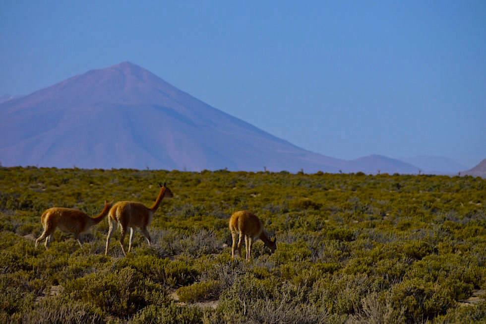 Vikunjas - Jeeptour Salar de Uyuni Bolivien