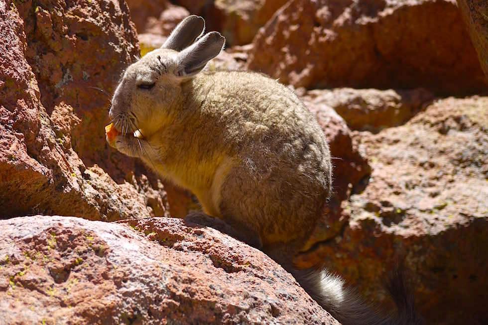 Andenchinchillas Altiplano Bolivien