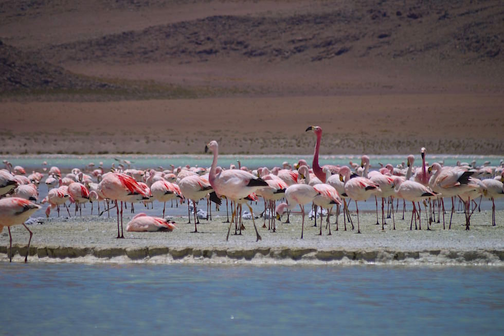 Laguna Hedionda mit Flamingos - Jeeptour Uyuni in Bolivien