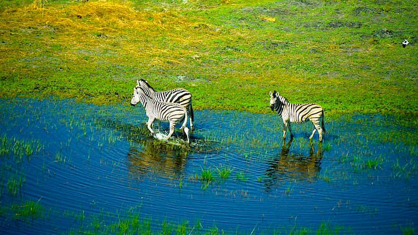 Zebras Okavango Delta ein Helikopter Flug von Maun, Botswana