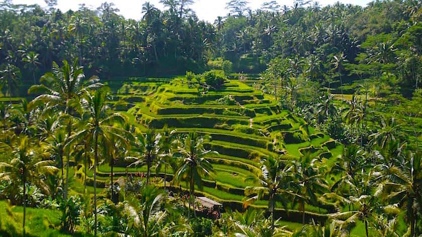 Tegallalang Rice Terraces - eine der schönsten Reisterrassen auf Bali - Indonesia