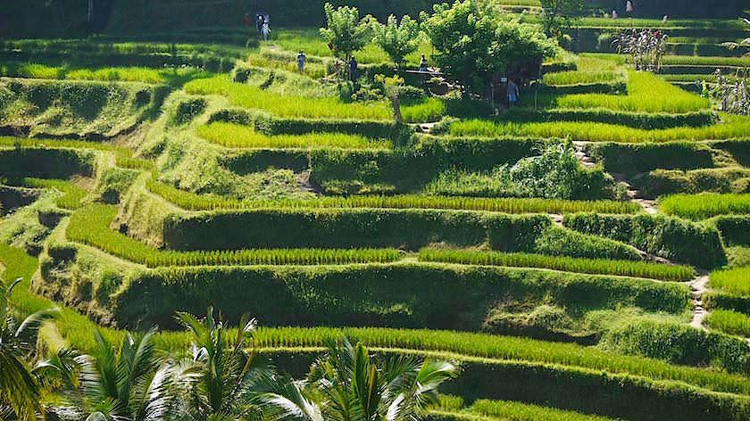 Tegallalang - Schönste Reisterrassen Bali - Indonesien
