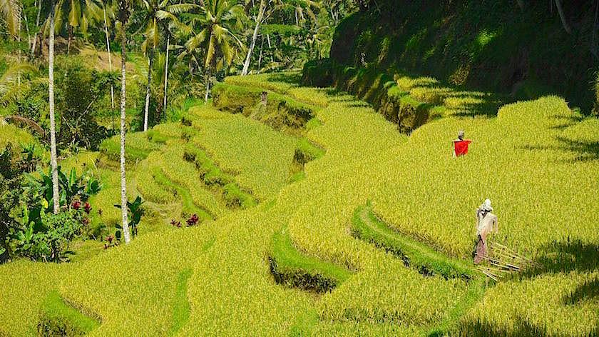 Tegallalang Rice Terraces - Highlight eines Bali Besuches: Weltbekannte Reisterrassen - Indonesien