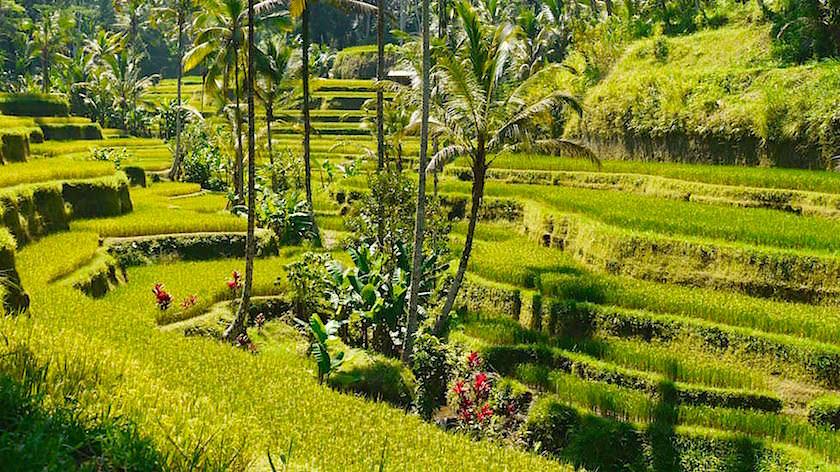 Blick auf die wunderschön angelegten Tegallalang Reisterrassen - Bali - Indonesien