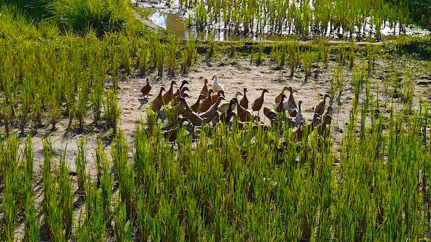 Enten Schädlingsbekämpfer in den Reisfeldern - Reisterrassen Bali - Indonesien