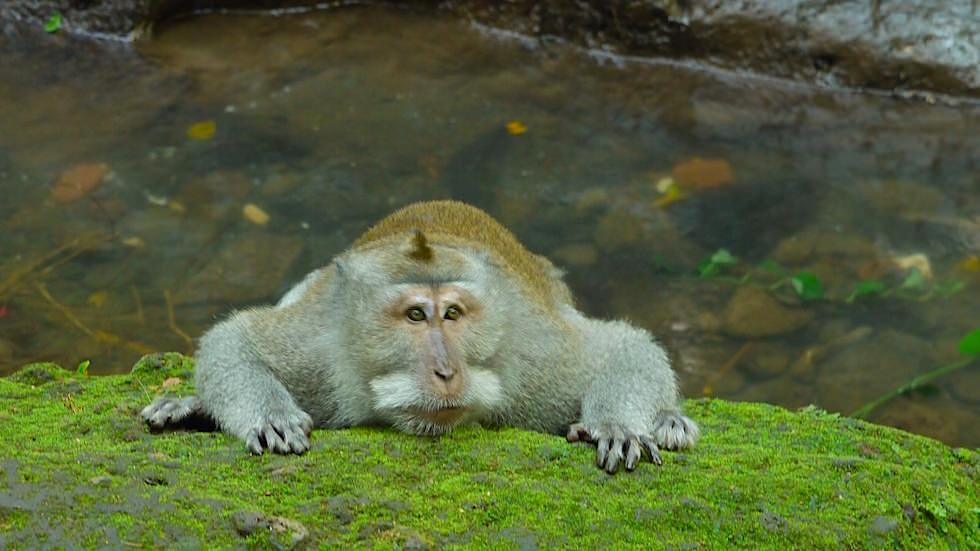 Affenwald - Langschwanz-Makaken - Monkey Forest in Ubud, Bali