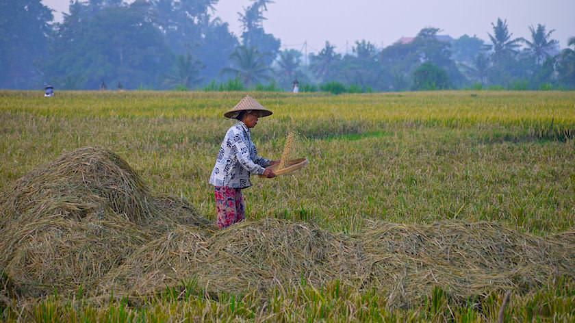 Reisernte, Aussieben Reis & Spreu - Reisterrasse Bali - Indonesien