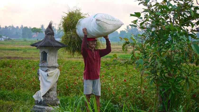 Reisernte auf den Feldern -Reisterrassen Bali - Indonesien