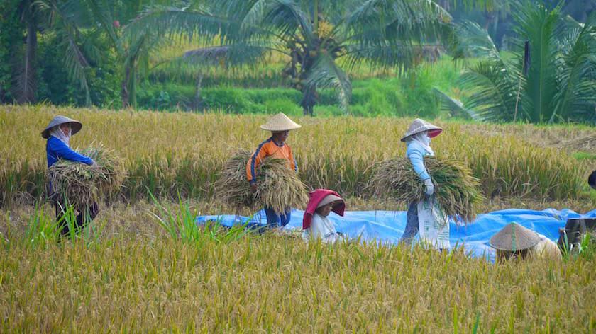 Reisernte auf den Reisfelder - Reisterrassen Bali - Indonesien