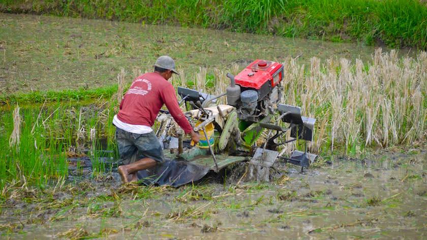 Reisernte & Umgraben der Reisfelder - Reisterrassen Bali - Indonesien