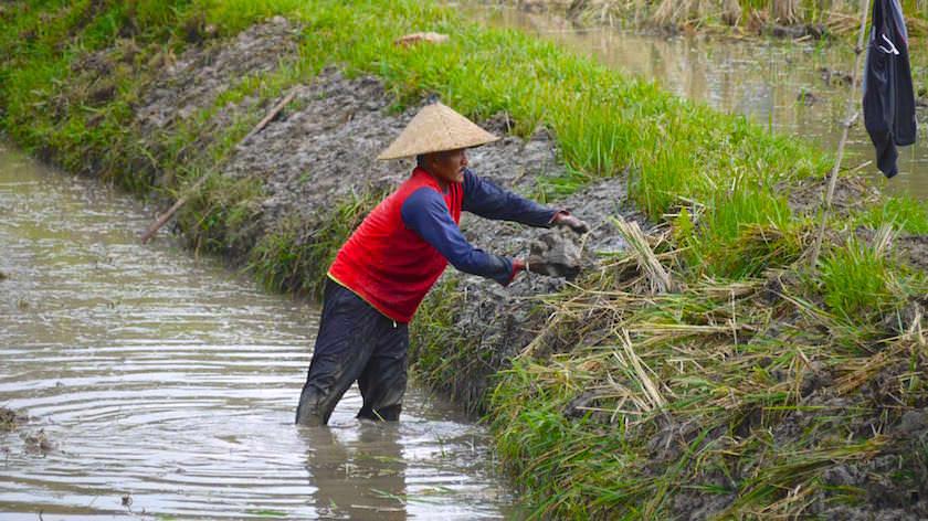 Reisernte und Reisfelder - Reisterrassen Bali - Indonesien