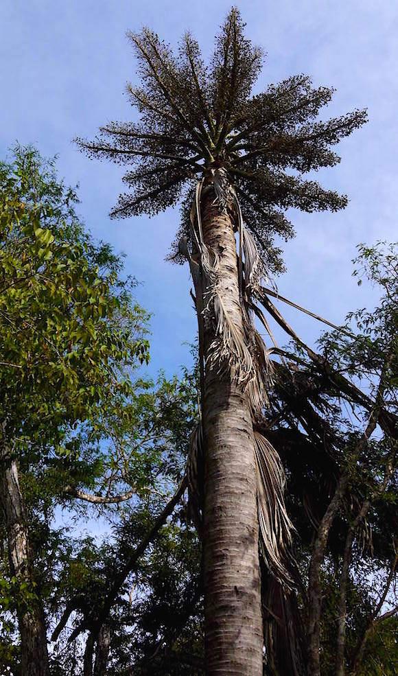 Palmen auf denen die Jungen Komodo Warane leben