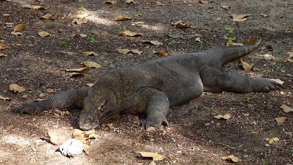 Komodowaran auf Komodo Island Komodo Nationalpark Indonesien