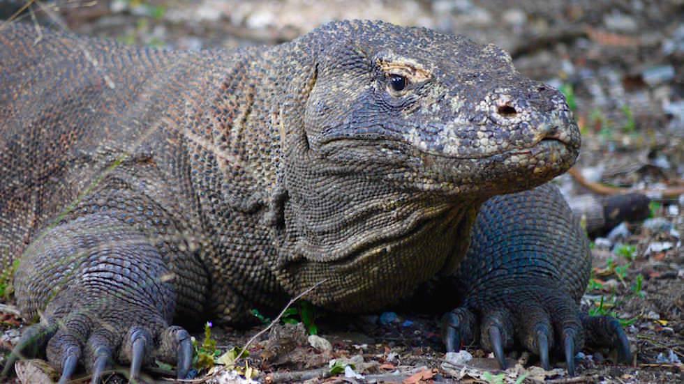 Komodo Dragon auf Komodo Island Komodo Nationalpark Indonesien