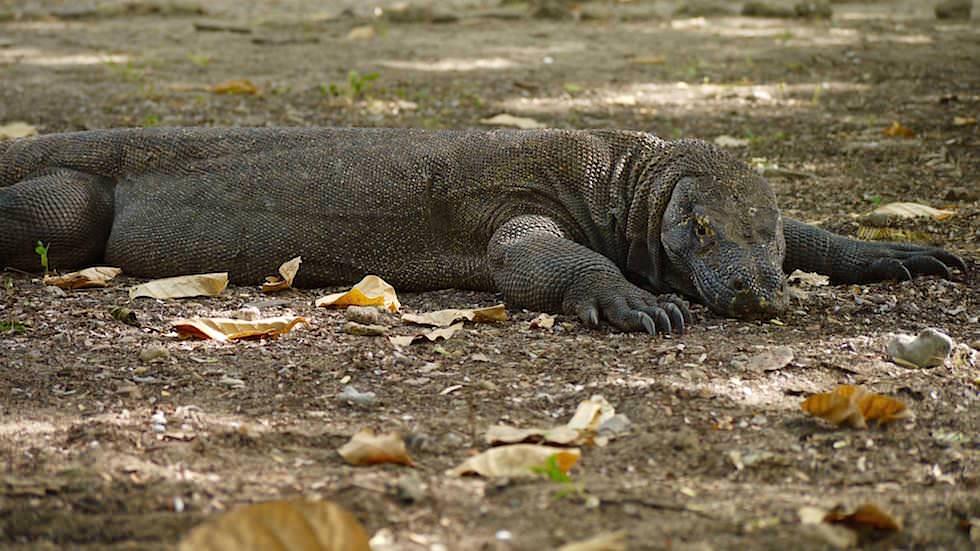Komodo Dragon im Komodo Nationalpark Indonesieen