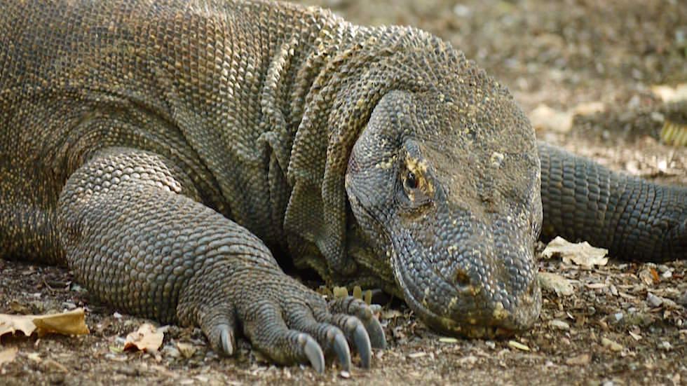 Komodo Dragon auf Komodo Island Indonesien
