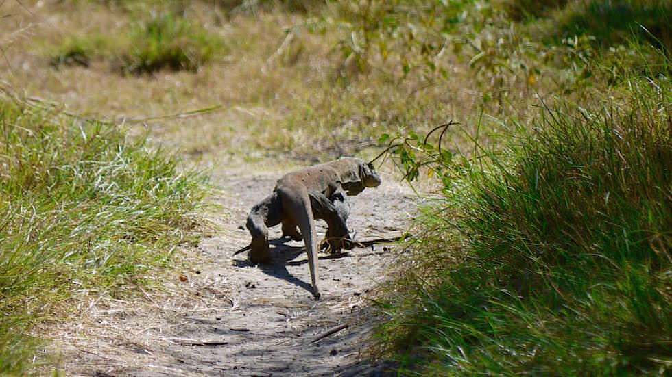 Junger Komodowaran auf Rinca Island Komodo Nationalpark Indonesien