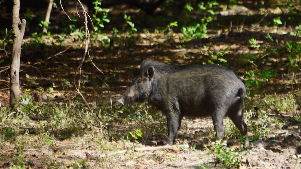 Wildschwein auf Rinca Island Komodo Nationalpark Indonesien