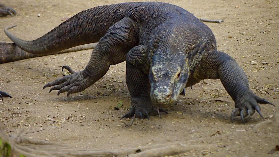Komodo Dragon auf Rinca Island Komodo National Park Indonesien