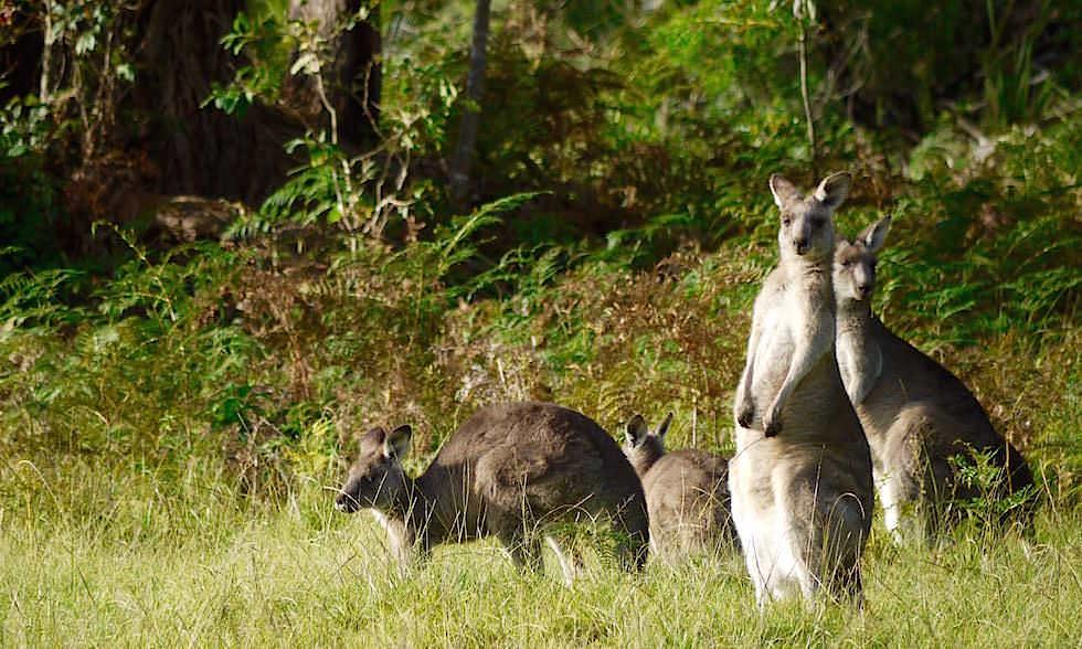 Kängurus - Maloneys Beach - Murramarang National Park - NSW - Australien