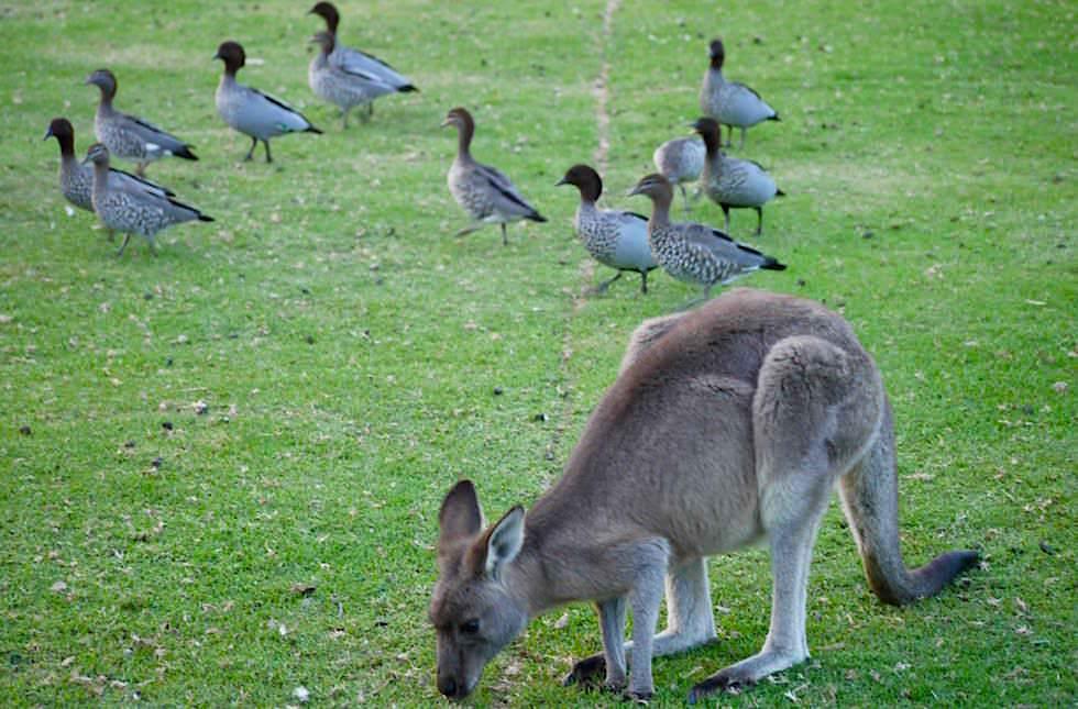Kängurus - Murramarang National Park - NSW - Australien