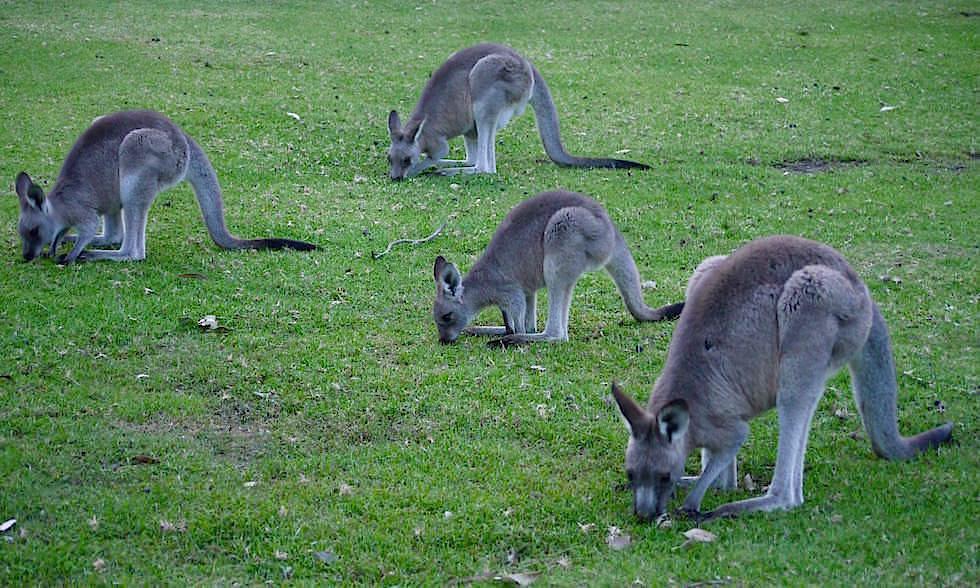 Kängurus - Merry Beach - Murramarang National Park - NSW - Australien