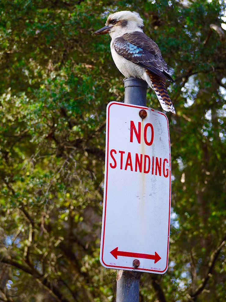 Kookaburra - Booderee National Park - Jervis Bay in New South Wales Australia