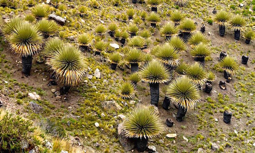 Nationalpark Huascarán mit Puya Raimundi Wald - Huaraz - Peru