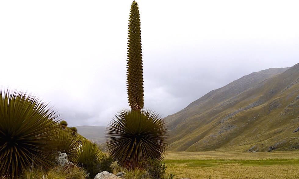 Nationalpark Huascarán mit Puya Raimundi - Pastoruri Gletscher - Huaraz - Peru