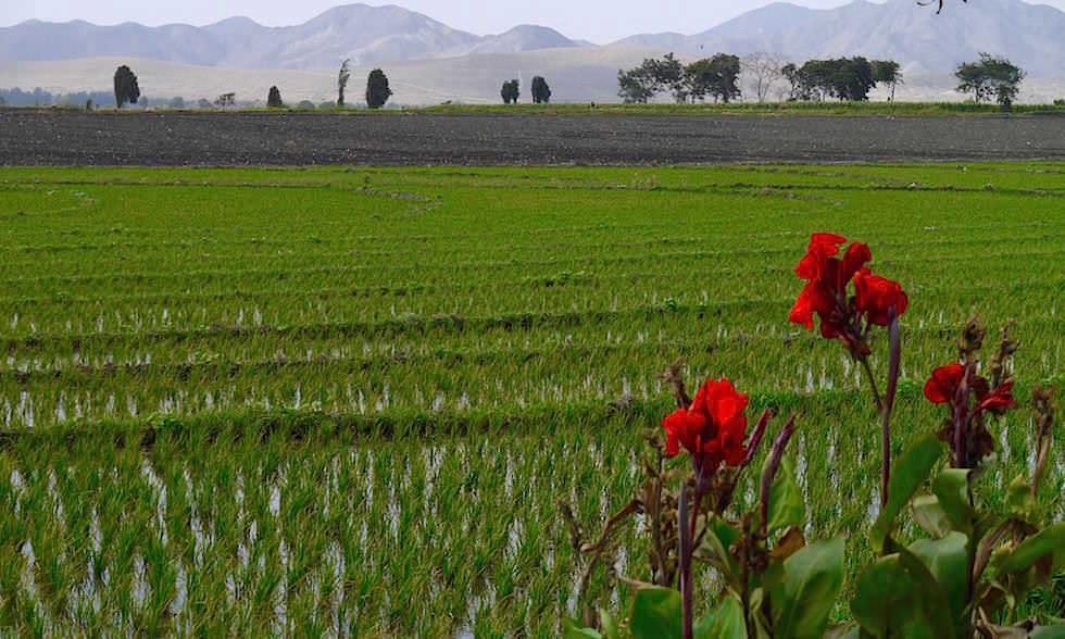 Reisfelder - Canon del Pato - Rio Santa - von Caraz nach Chimbote in Peru