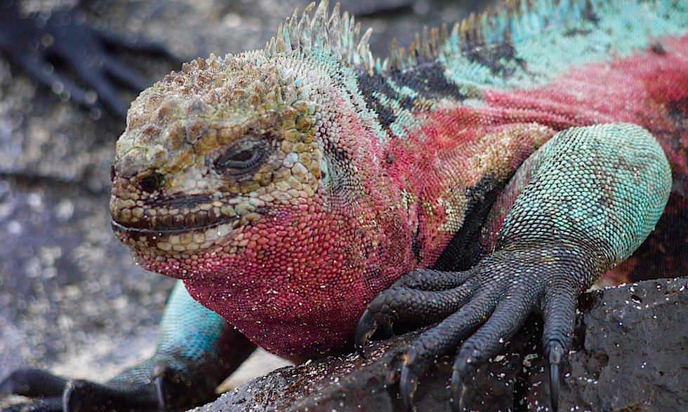 Meerechsen Paarungszeit - Espanola Island - Galapagos Inseln Ecuador