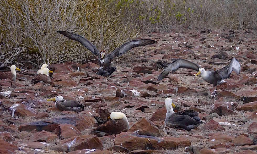 Galapagos Albatrosse auf Espanola Island - Suarez Point- Galapagos Inseln Ecuador