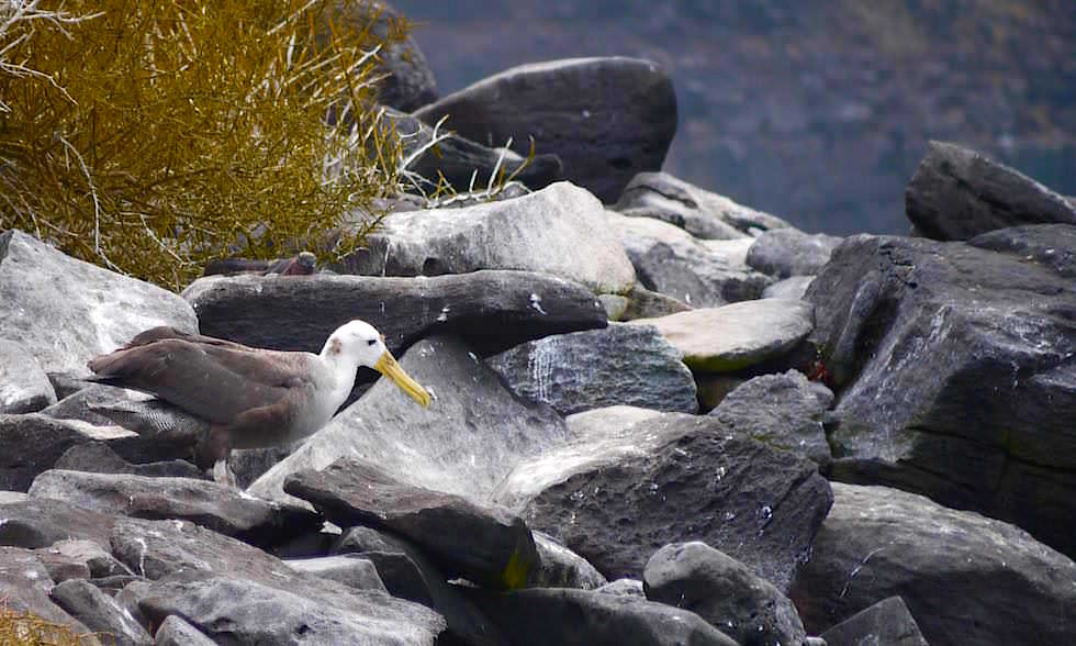 Galapagos Albatrosse lernen fliegen auf Espanola Island - Suarez Point- Galapagos Inseln Ecuador