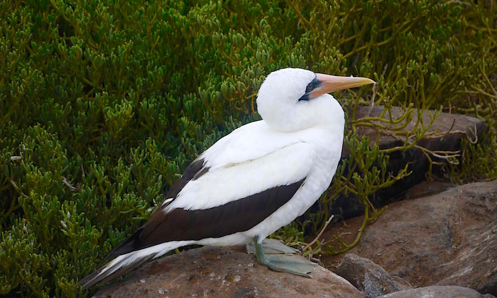Maskentölpel auf Espanola Island - Suarez Point- Galapagos Inseln Ecuador