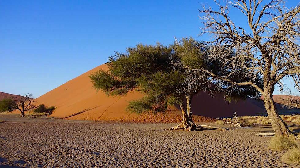 Kameldornbaum - Namib Wüste - Die schönsten Namibia Sanddünen - Afrika