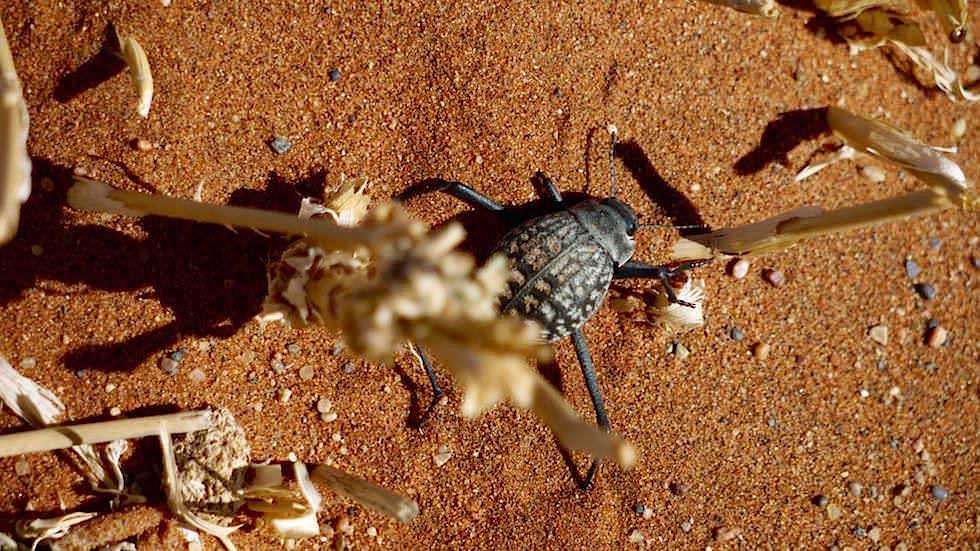 Wüstenkäfer - Namib Wüste Namibia Afrika