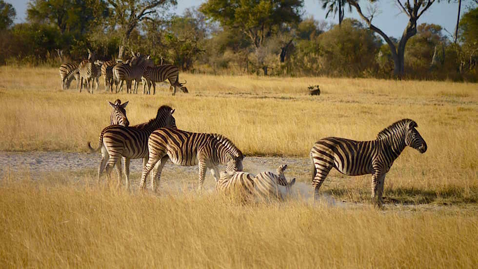 Okavango Delta - Zebras im Moremi Wildlife Resort - Botswana Afrika
