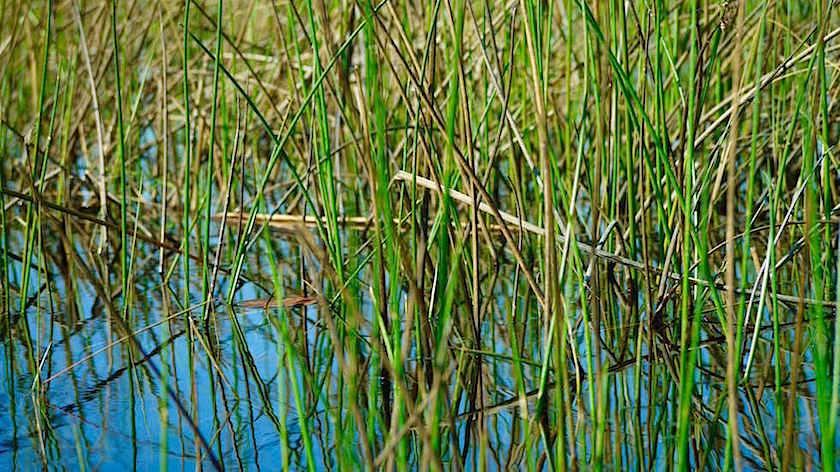 Papyrusgras im Okavango Delta Botswana Afrika