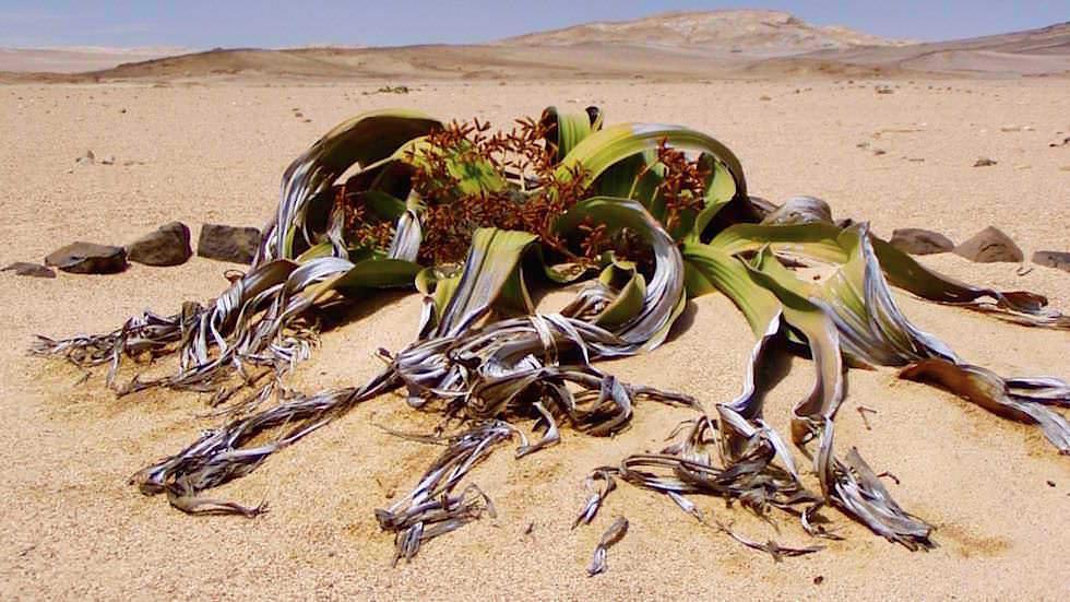 Welwitschie - Namib Wüste Namibia Afrika