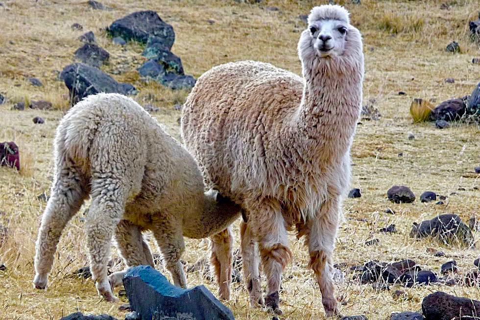 Alpaka: Mutter säugt Junges - Hochland - Peru
