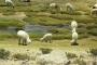Von Arequipa nach Chivay – Pampas, Pässe, Vicuñas, Lamas, Alpakas, Brauchtum & Trachten