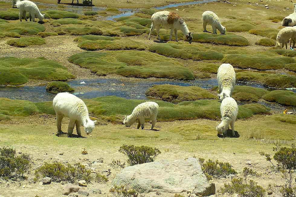 Unterschied Lama Alpaka: Pampa Canahuas von Arequipa nach Chivay - Peru