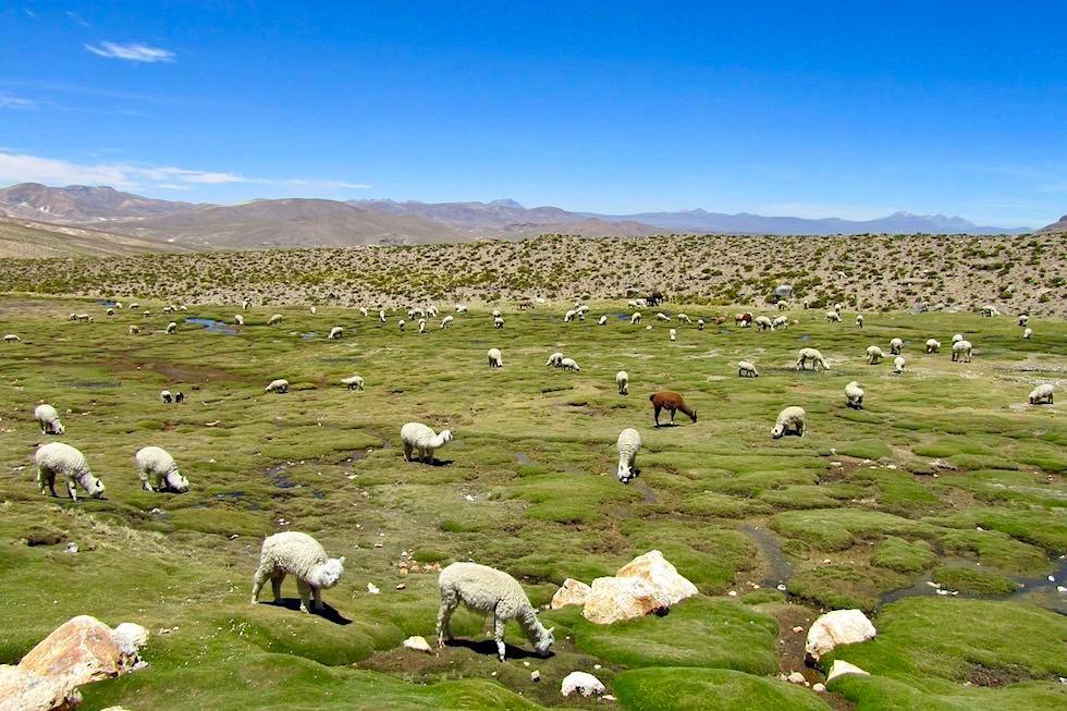 Arequipa nach Chivay - Pampa Canahuas - Peru
