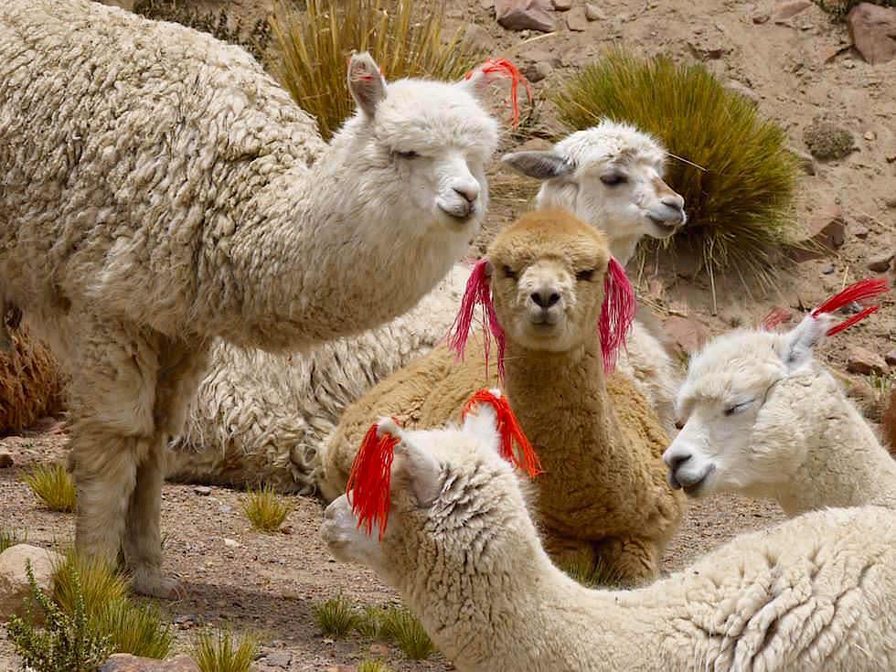 Alpakas in der Pampa Canahuas - von Arequipa nach Chivay - Peru